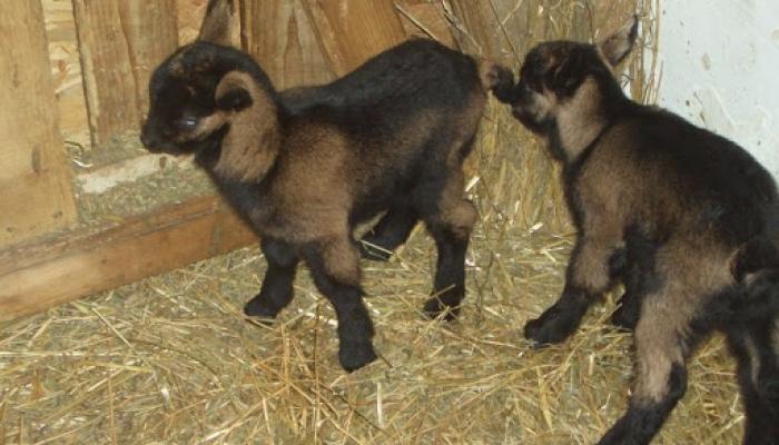 2009.02.13 és 19 között Gidák születése 16 és istálló 045_resize.jpg